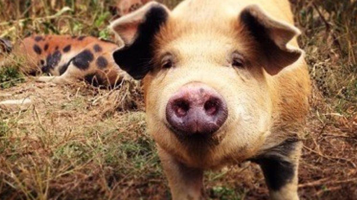 Panama pig