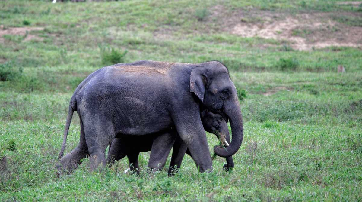 tracks of Asian elephants
