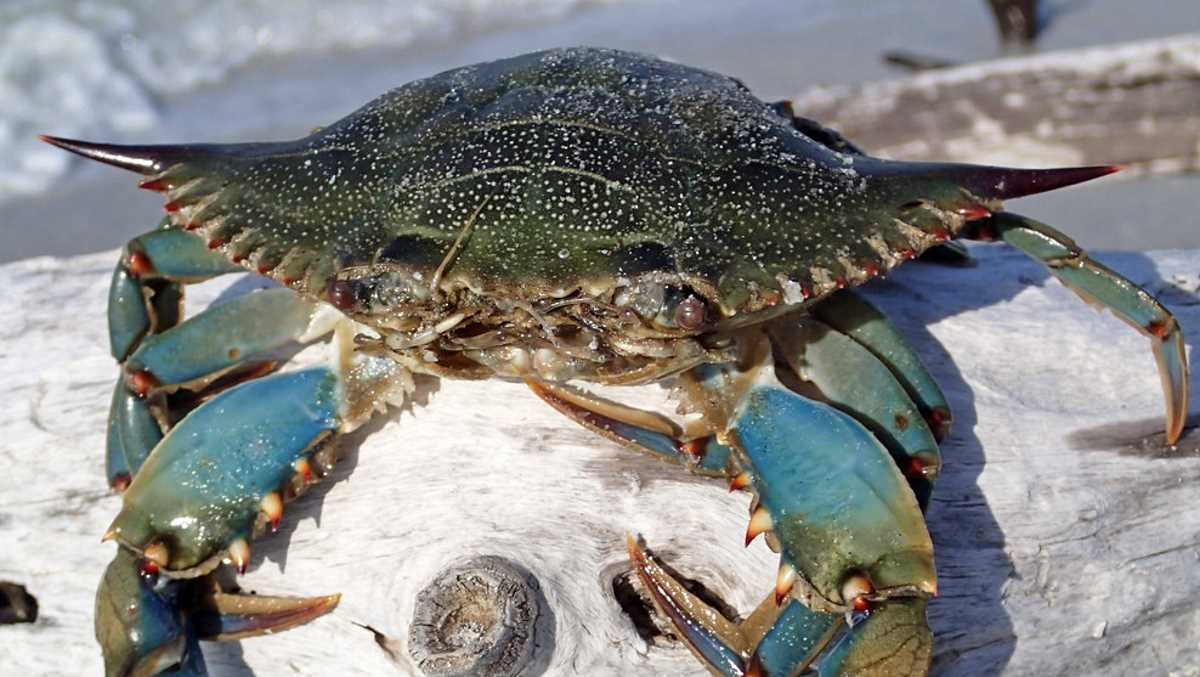 Blue crab from USA